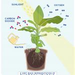 Esquema simples da fotossintese