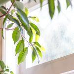 Folhas de uma planta ficus benjamina à janela sob raios de luz solar