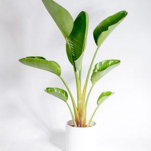Estrelicia gigante strelitzia nicolai-7