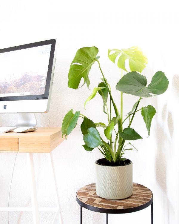 costela de adão em vaso urban jungle escritório comprar
