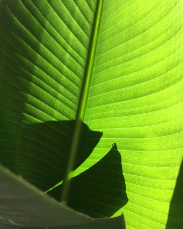 Strelitzia nicolai folha
