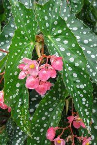Begonia maculata silverspot flores