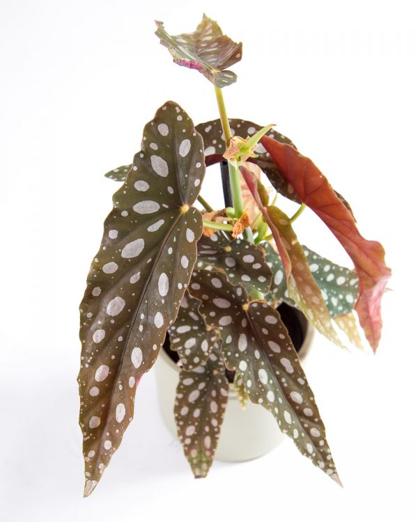 Begonia maculata silverspot