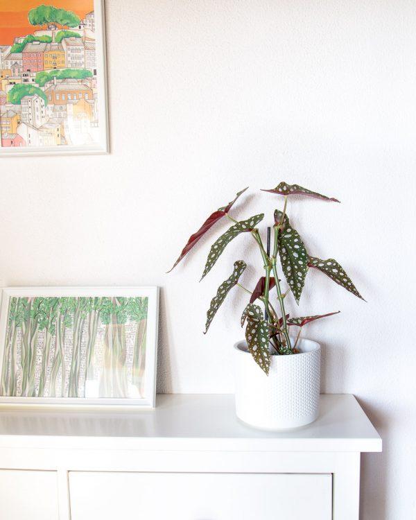 Begonia maculata silverspot urban jungle