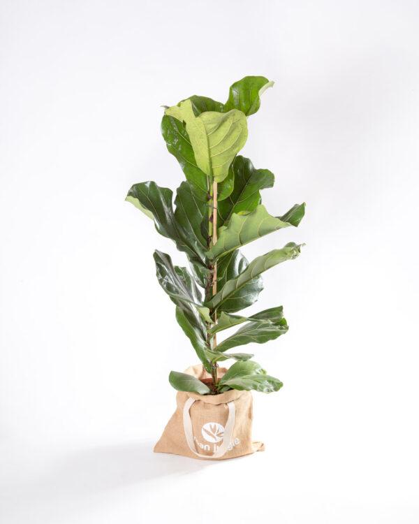 Ficus lyrata - figueira lira