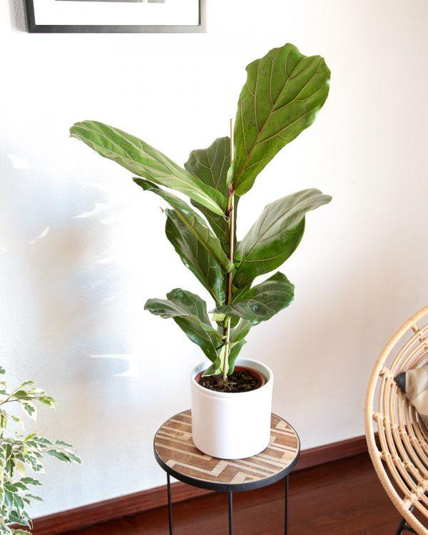 Ficus lirata em vaso Urban Jungle comprar