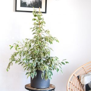 Planta Ficus benjamina variegata em vaso Urban Jungle comprar