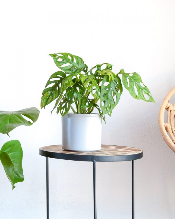 Monstera adansonii comprar em vaso urban jungle escritorio