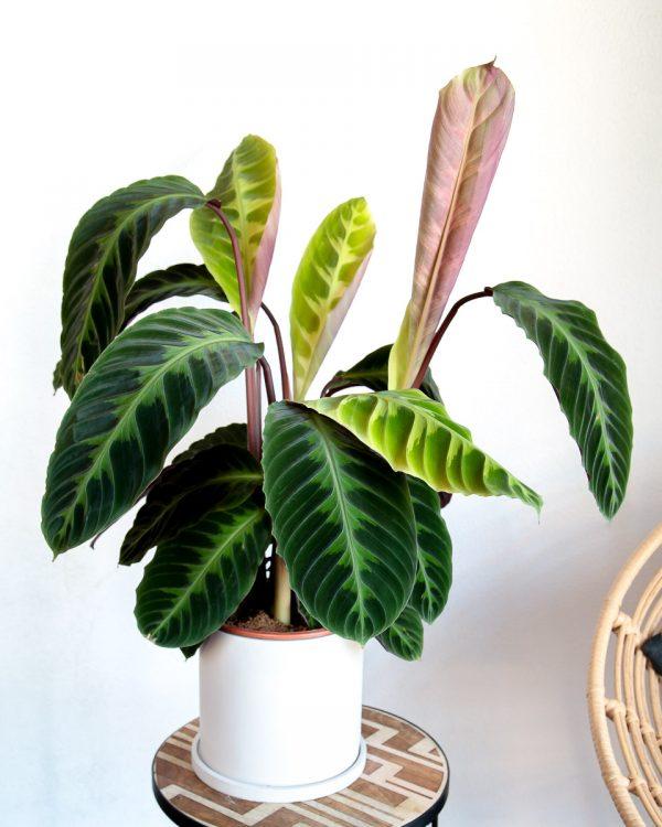 calathea jungle velvet com vaso urban jungle comprar