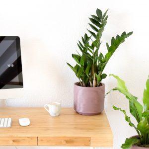 zamioculcas zamiifolia planta da sorte em vaso rosa cimento comprar urban jungle