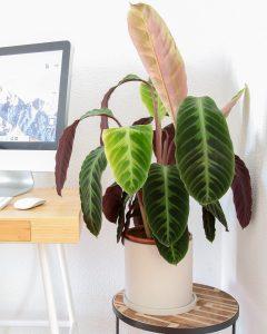 calathea jungle velvet com vaso urban jungle escritorio