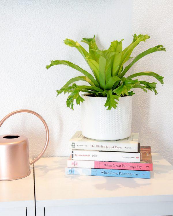 Asplenium antiquum 'Crissie' planta em vaso Urban Jungle comprar