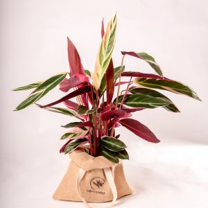Calathea triostar Urban Jungle comprar