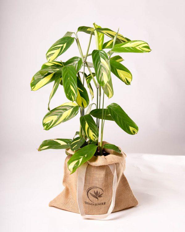Ctenanthe lubbersiana 'Variegata' - comprar planta Urban Jungle