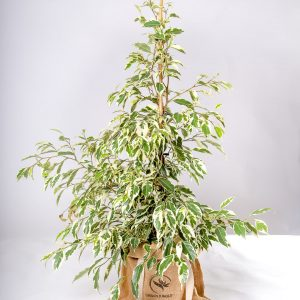Planta Ficus benjamina variegata Urban Jungle comprar