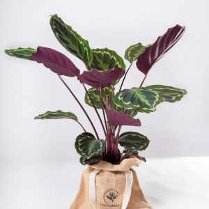 Calathea veitchiana medallion Urban Jungle comprar