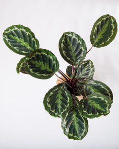 Calathea veitchiana medallion Urban Jungle comprar