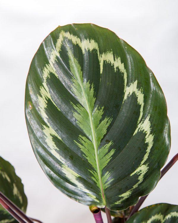 Folha de Calathea veitchiana medallion Urban Jungle