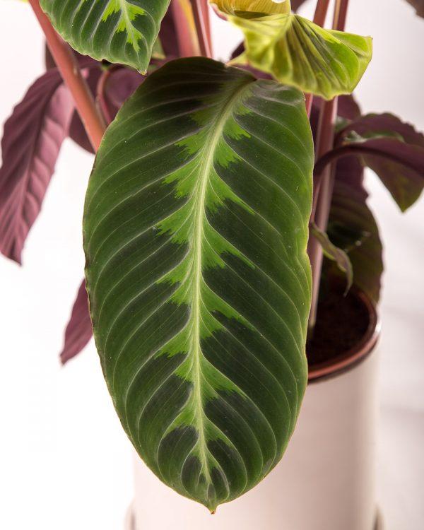 folha de calathea jungle velvet com vaso urban jungle
