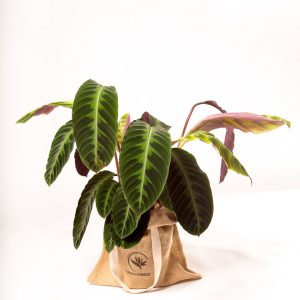 calathea jungle velvet urban jungle comprar