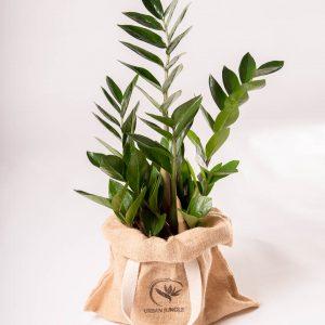 zamioculcas zamiifolia planta da sorte comprar urban jungle