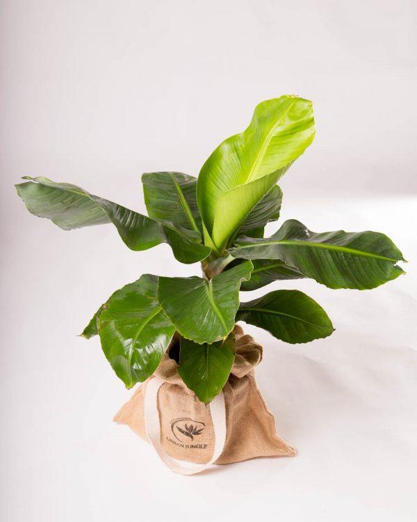 bananeira em vaso planta interior ornamental