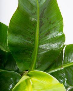 bananeira em vaso planta interior ornamental folha