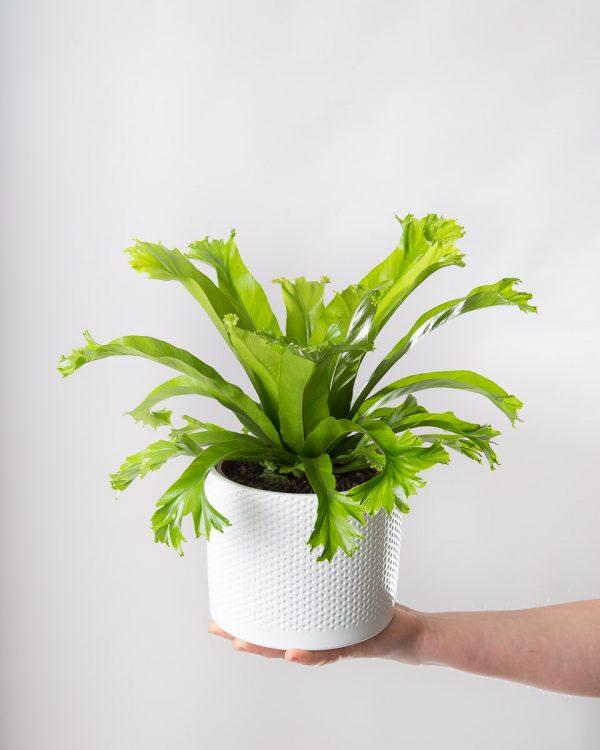 Asplenium antiquum 'Crissie' planta Urban Jungle comprar