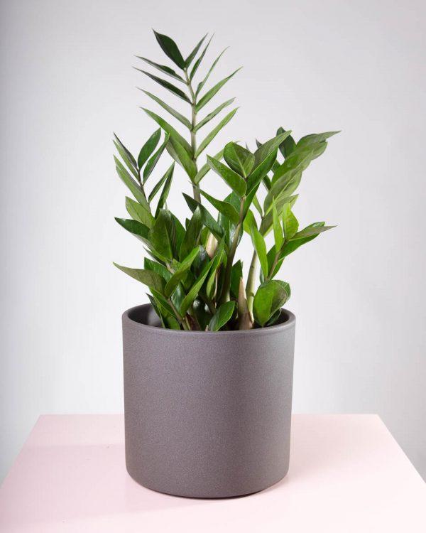 Vaso decorativo para plantas Maceo Sand antracite com planta zamioculcas