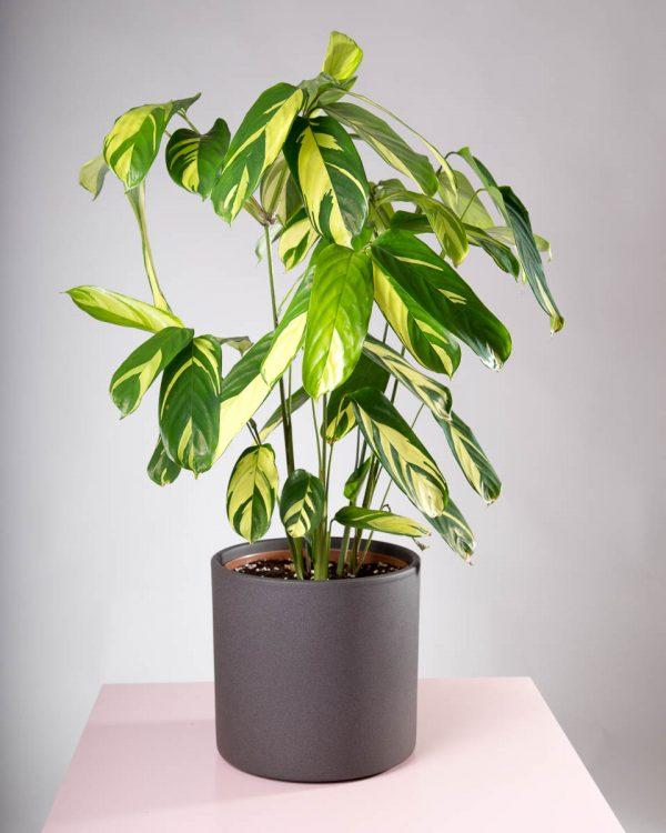Vaso decorativo para plantas Maceo Sand antracite com planta ctenathe