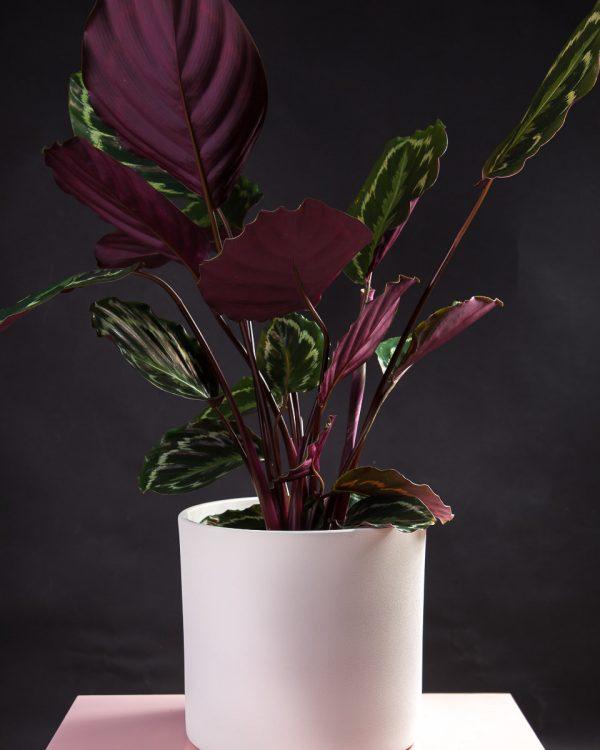 Calathea veitchiana medallion em vaso Urban Jungle comprar