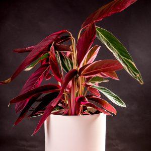 Planta Stromanthe triostar em vaso Urban Jungle