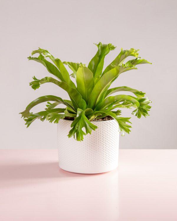 Vaso decorativo com planta asplenium antiquum