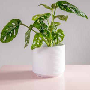 Vaso decorativo de cimento branco Parma monstera adansonii