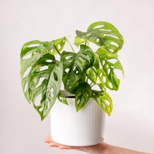 Monstera adansonii em vaso Urban Jungle