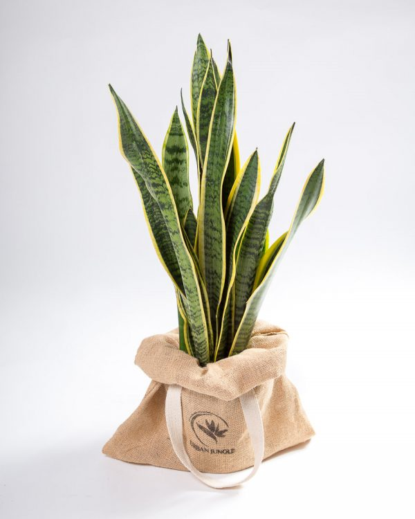 Sansevieria trifasciata Urban Jungle
