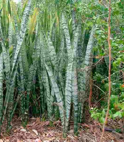 Sansevieria trifasciata no habitat natural em África
