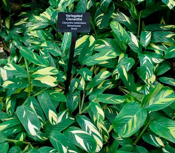 Bamburanta planta - cthenanthe lubbersiana
