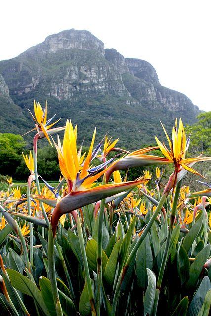 Estrelícias reginae na África do Sul