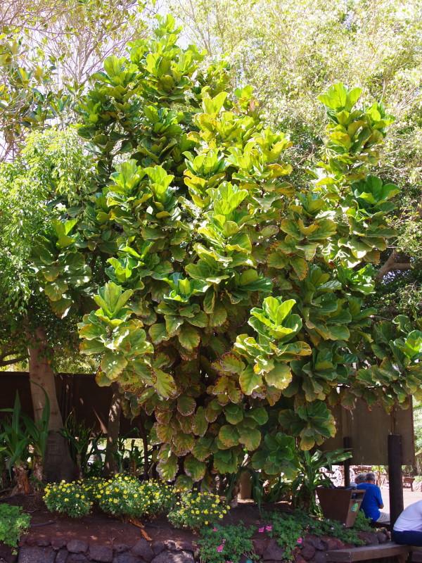 Ficus lirata em jardim exterior