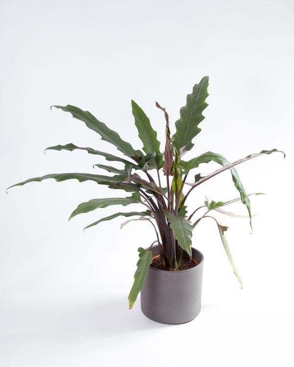 Alocasia lauterbachiana com vaso Urban Jungle