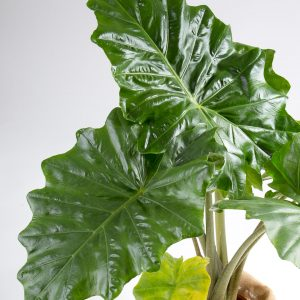 Alocasia orelha de elefante Urban Jungle