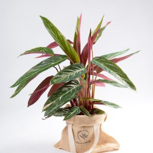 Calathea thalia Magic star Urban Jungle