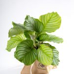Calathea orbifolia Urban Jungle