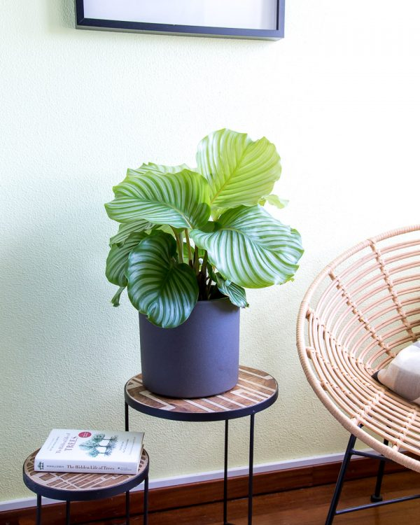 Calathea orbifolia com vaso Urban Jungle
