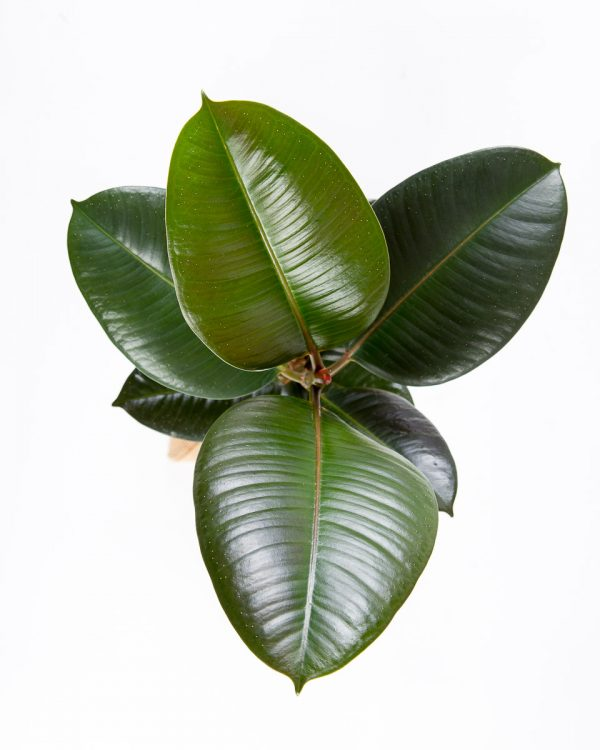 Folhas de Ficus elastica urban jungle-3