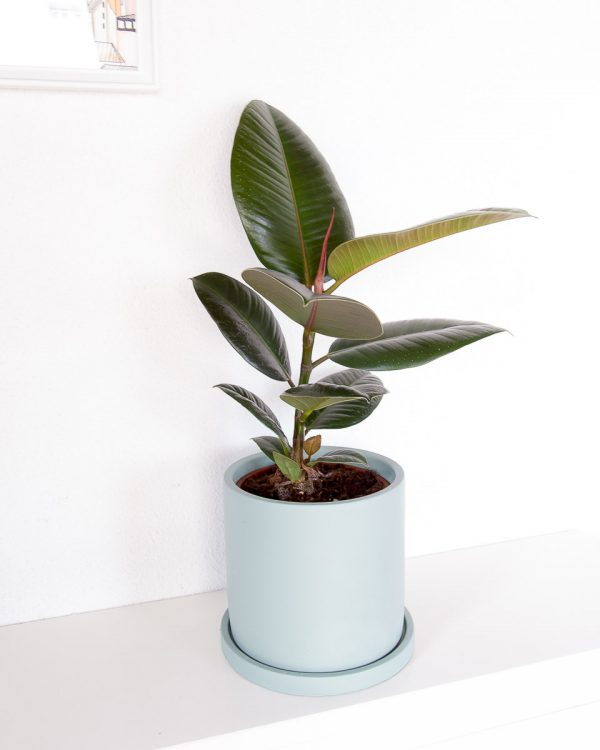 Ficus elastica com vaso urban jungle
