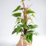 Philodendron ou filodendro Urban Jungle