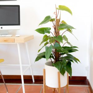 Philodendron ou filodendro com vaso Urban Jungle