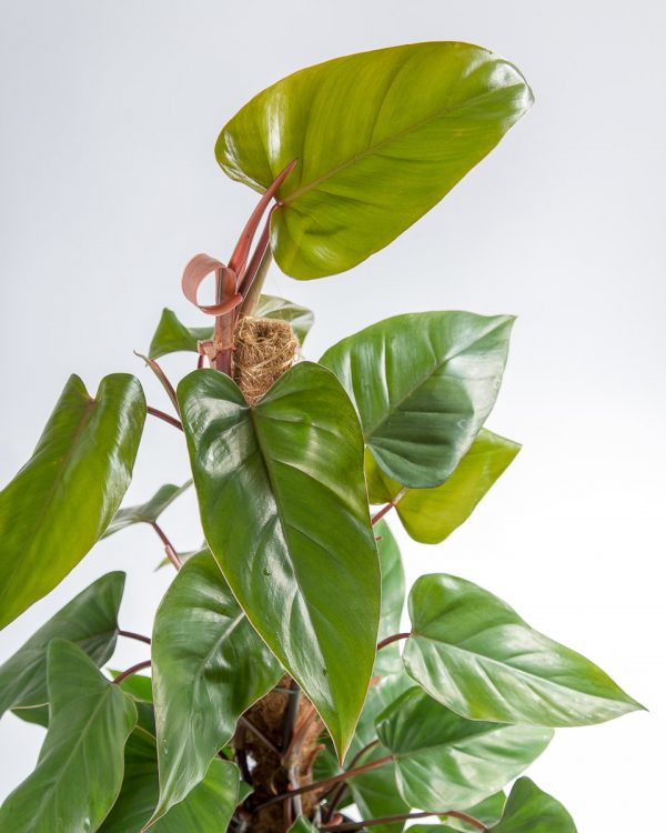 Philodendron ou filodendro folhas